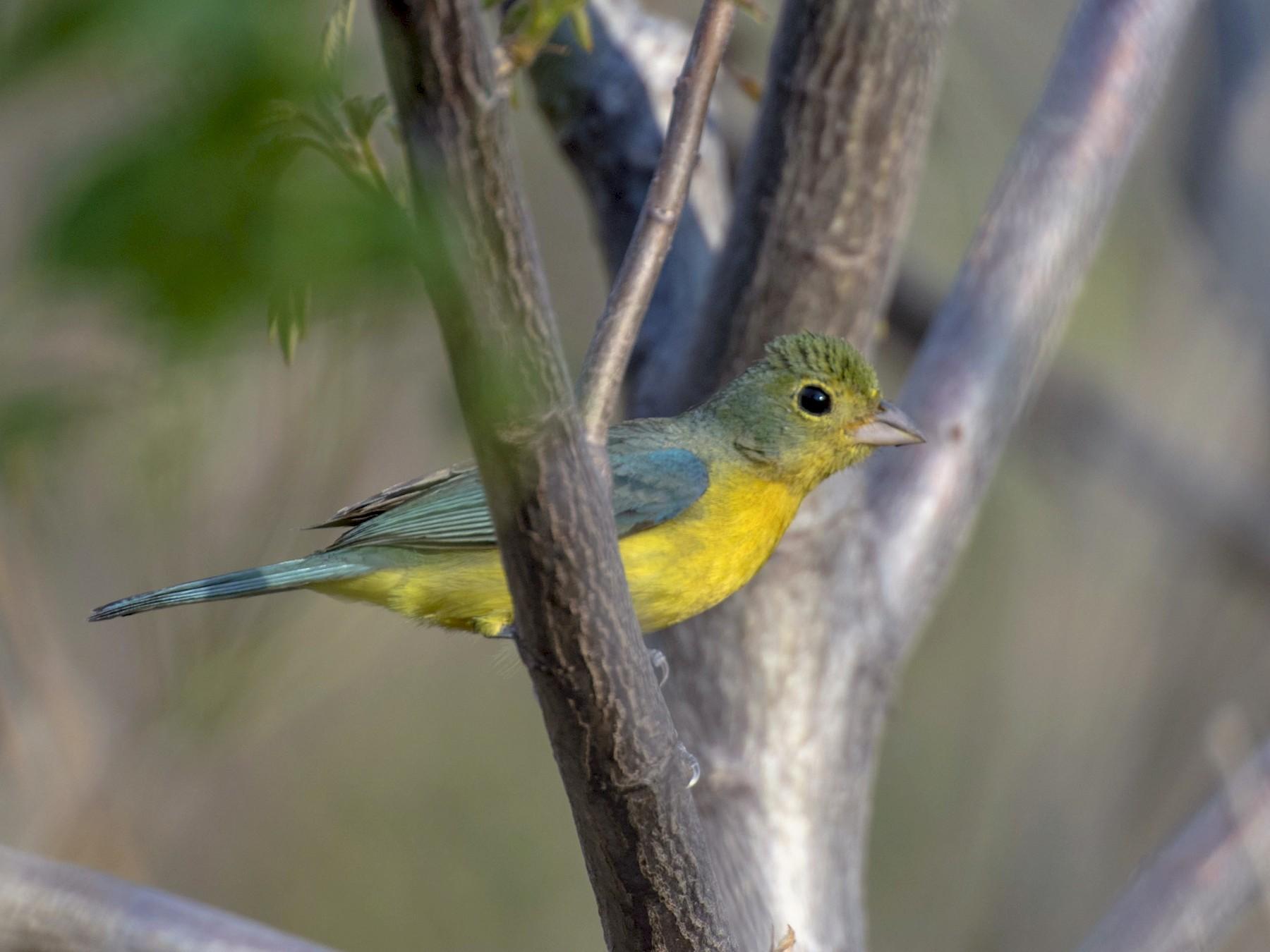 Orange-breasted Bunting - Alberto Martinez RoyalFlycatcher Birding Tours & Nature Photography