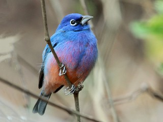 - Rose-bellied Bunting