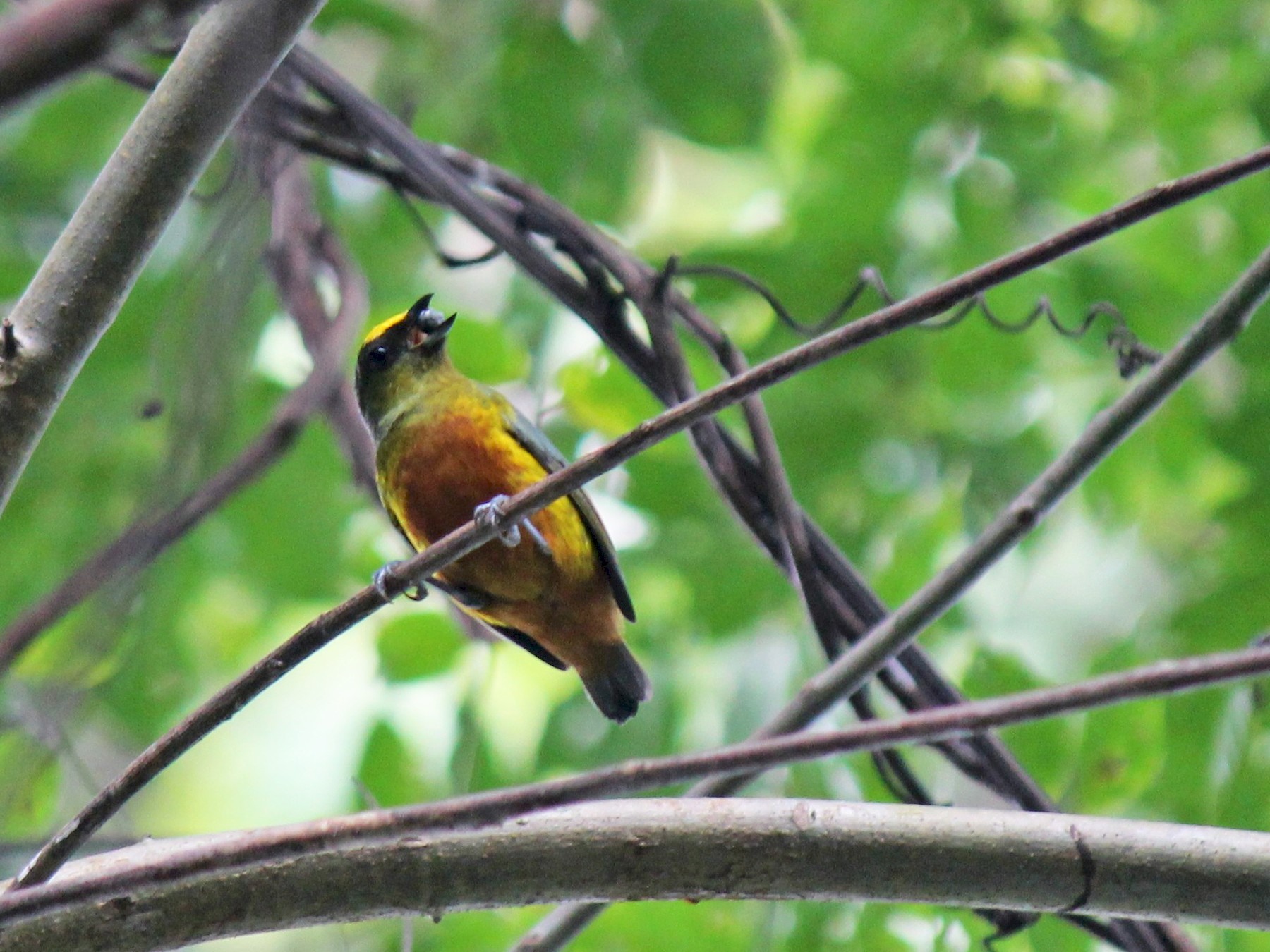 Olive-backed Euphonia - Charles Gates