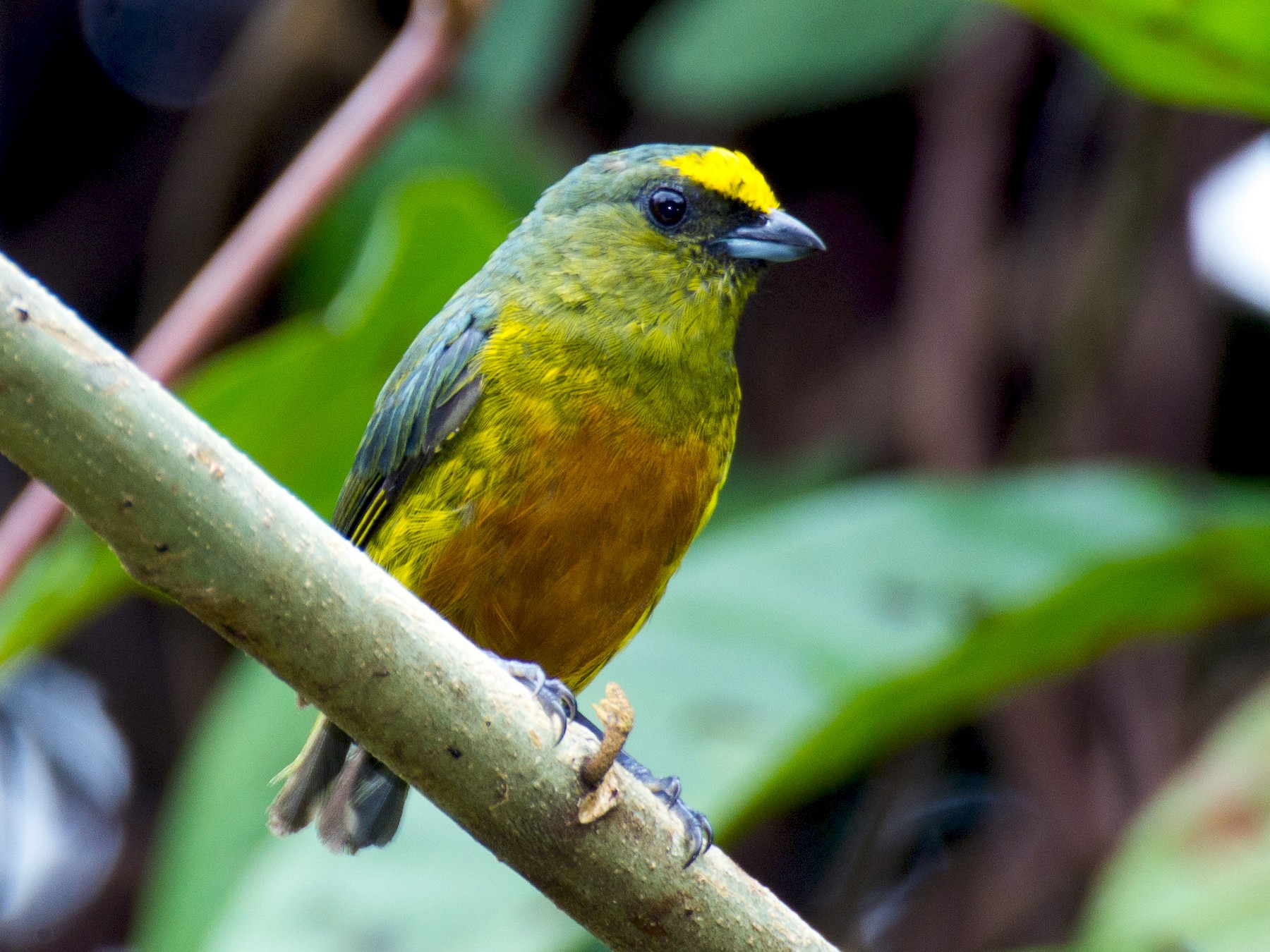 Olive-backed Euphonia - Francis Canto Jr