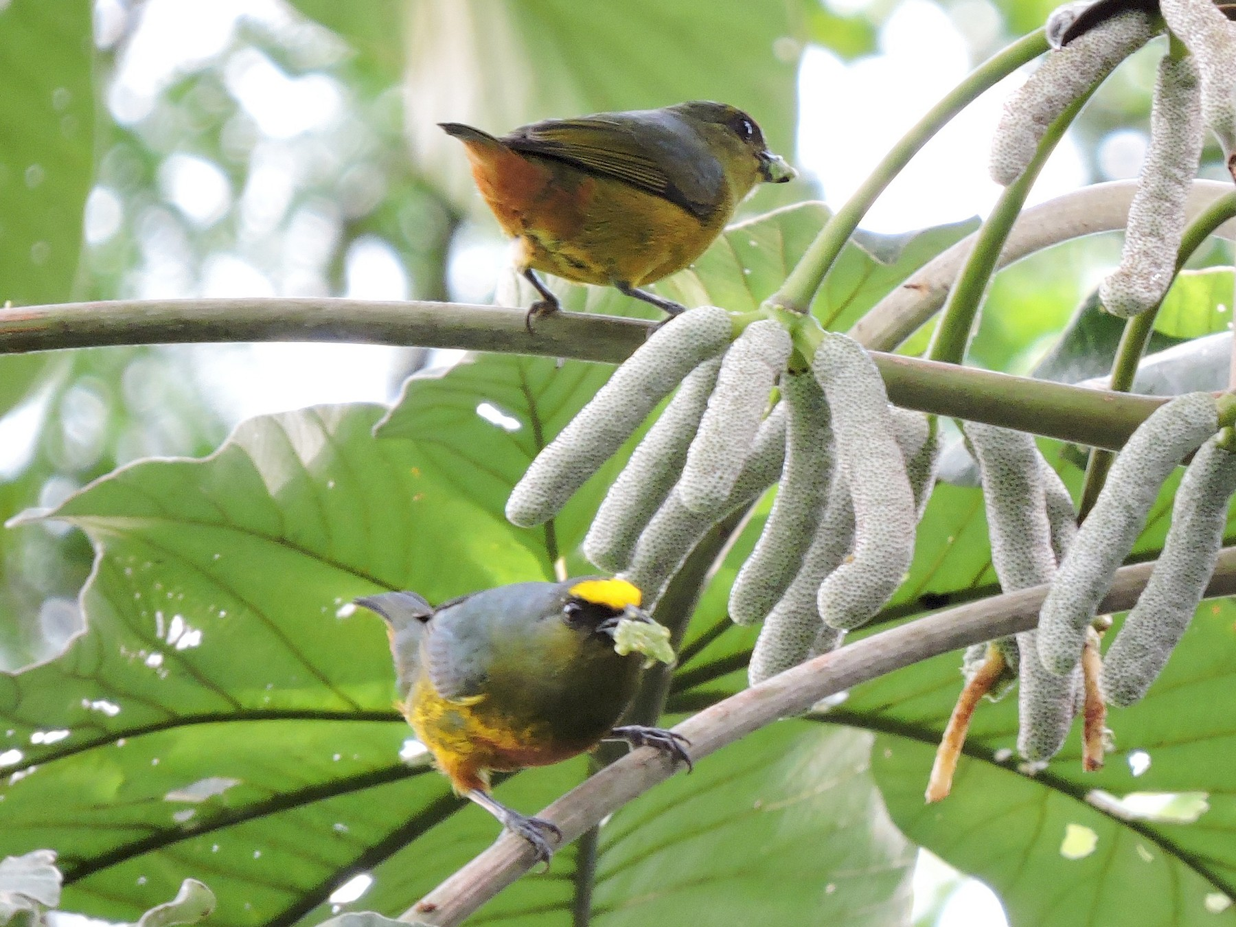 Olive-backed Euphonia - Francisco Dubón