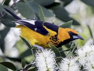 - Spot-breasted Oriole