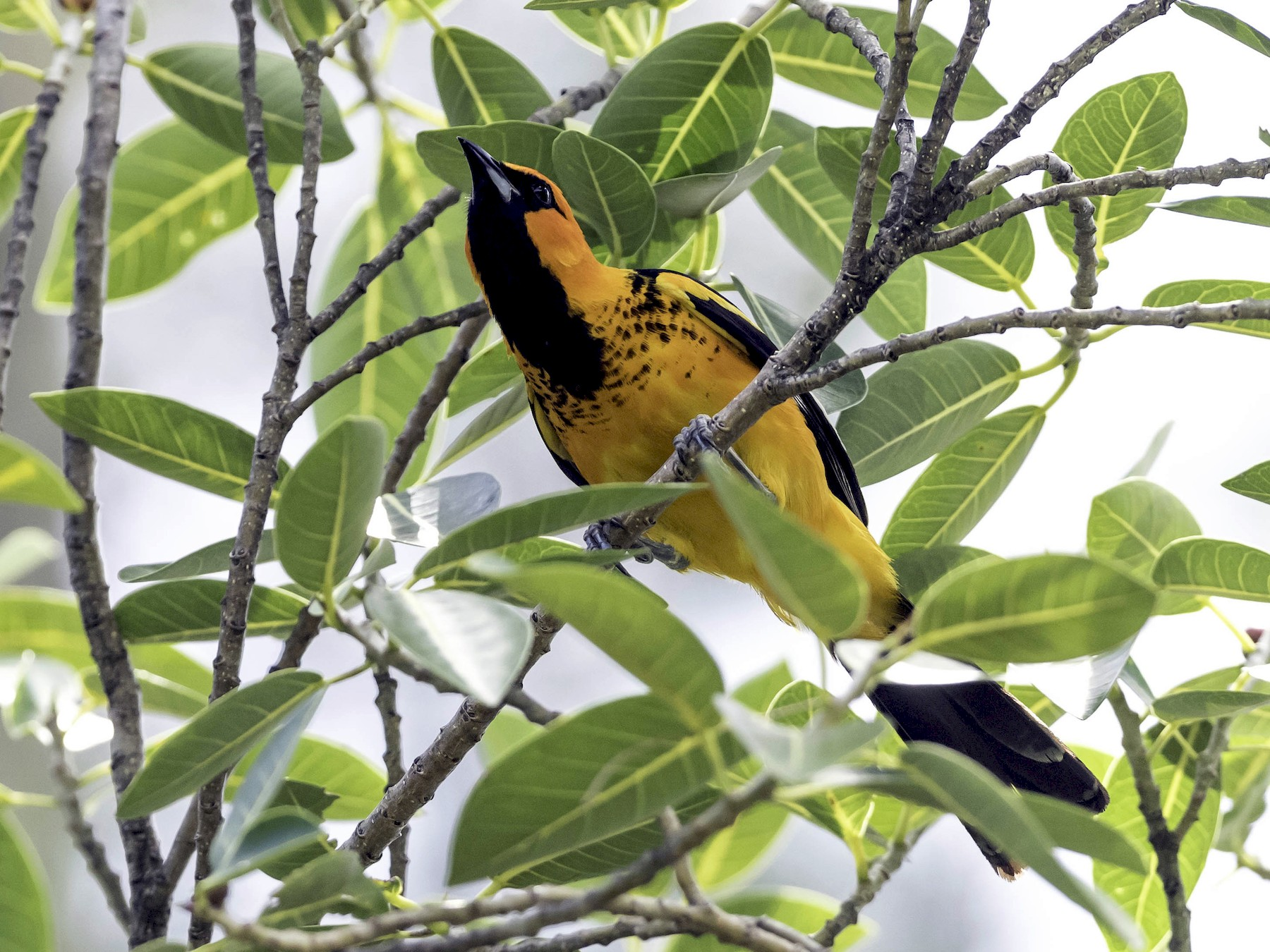Spot-breasted Oriole - David Hall