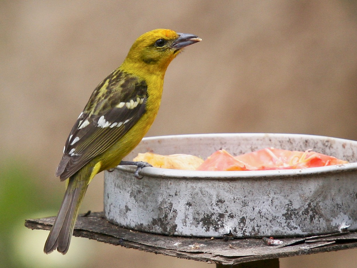 Flame-colored Tanager - Brooke Miller