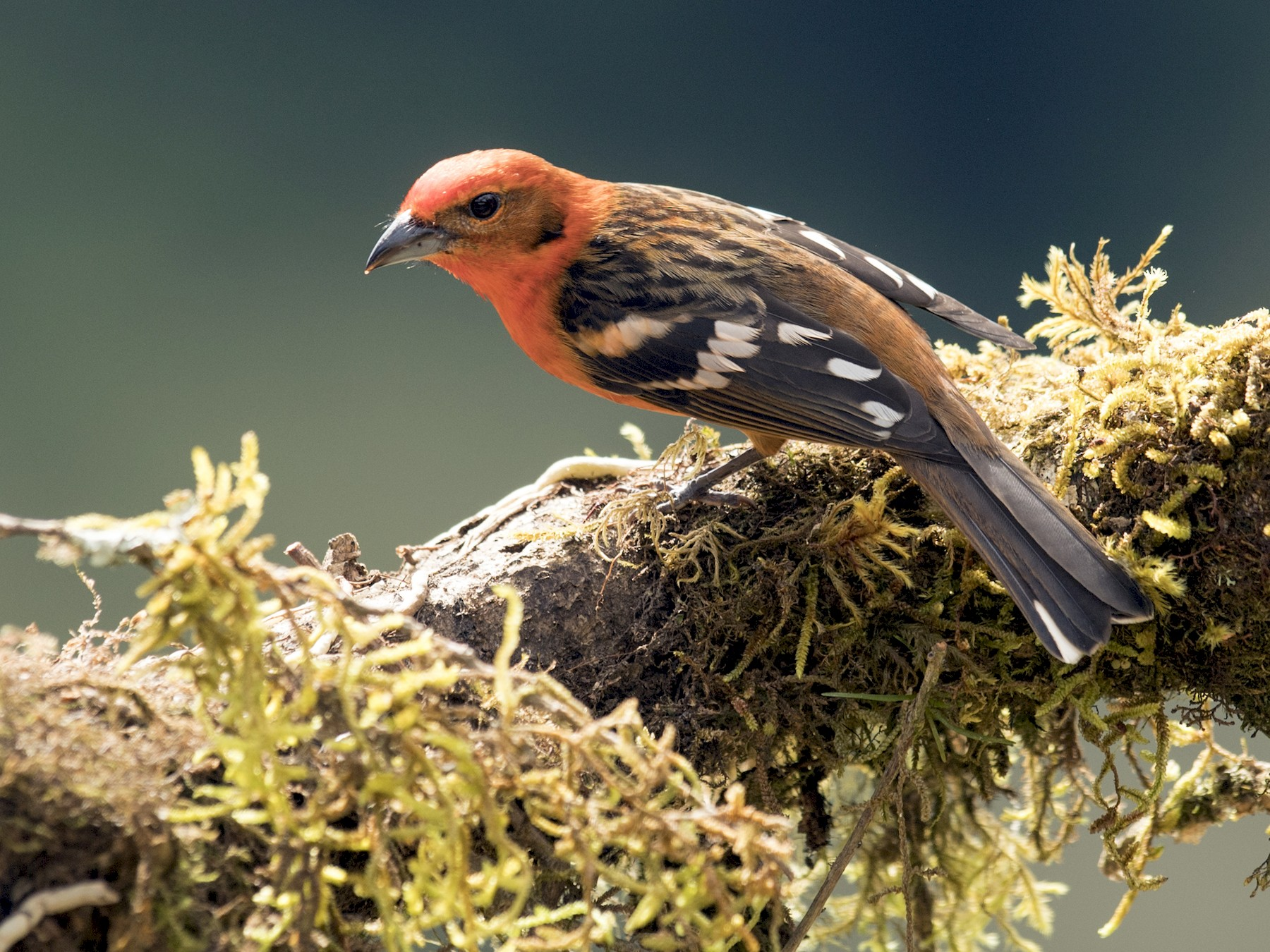 Flame-colored Tanager - Ken Langelier