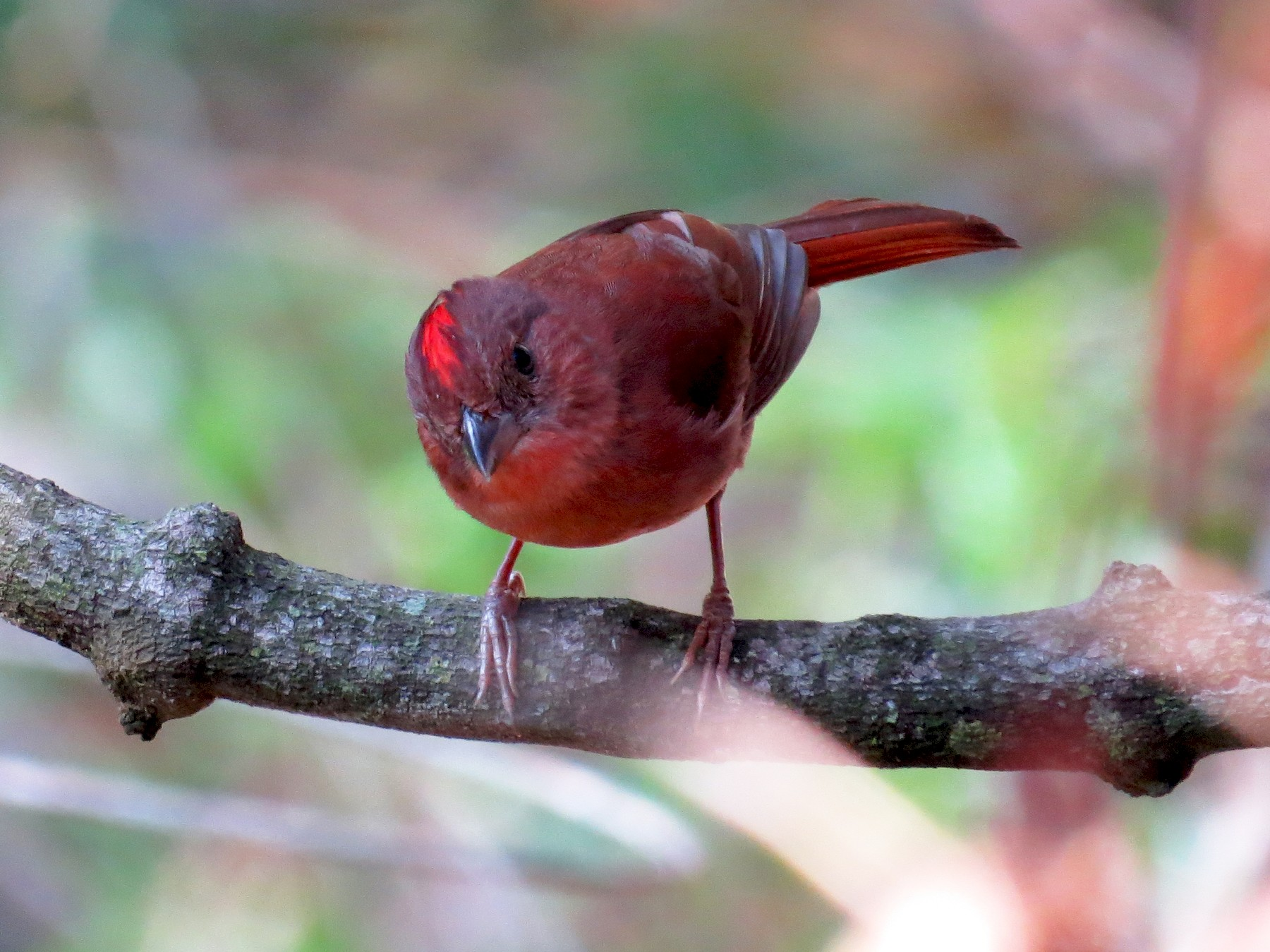 Red-crowned Ant-Tanager - Oveth Fuentes