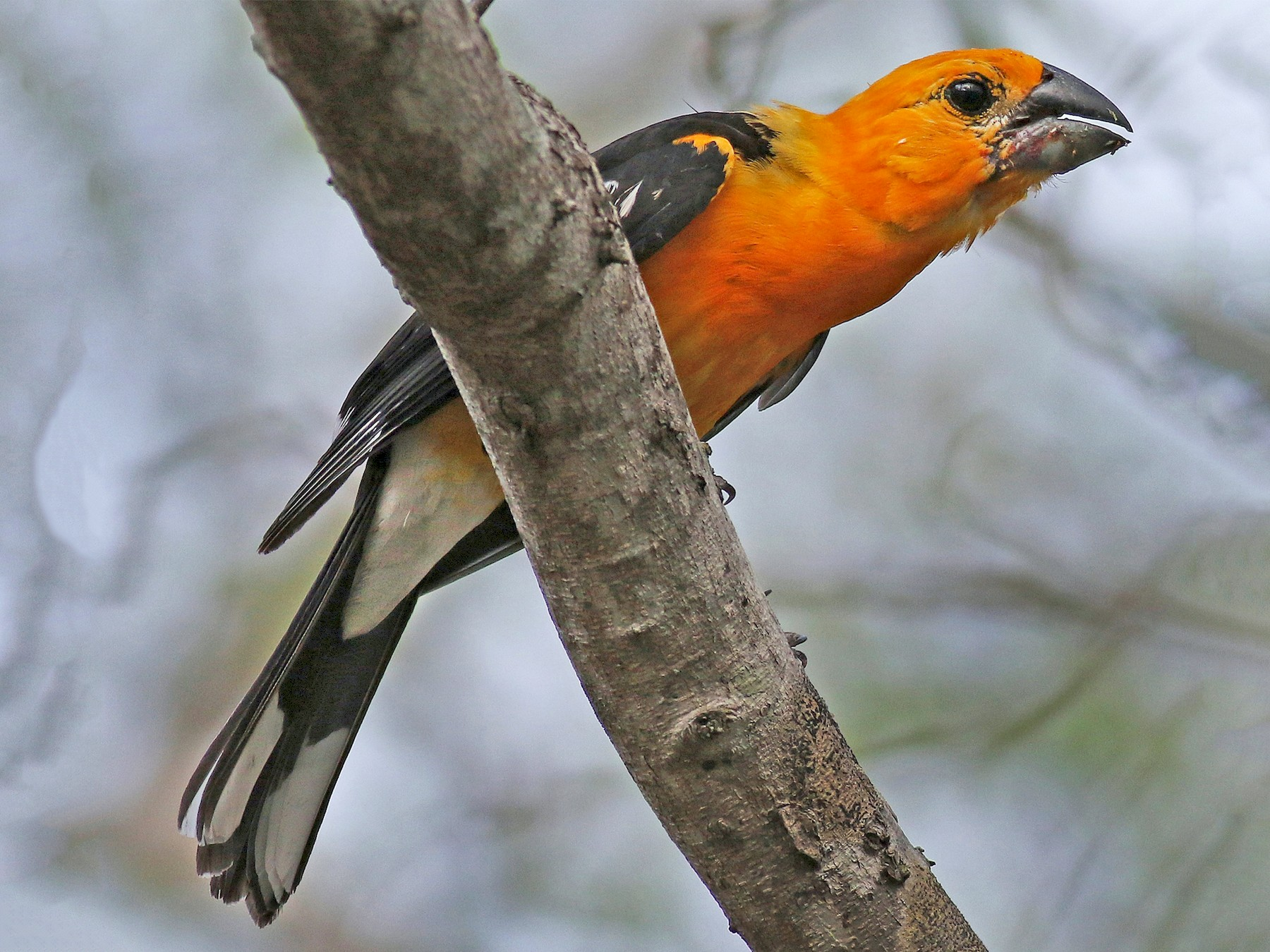 Yellow Grosbeak - Jose Monzon