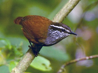 - Gray-breasted Wood-Wren