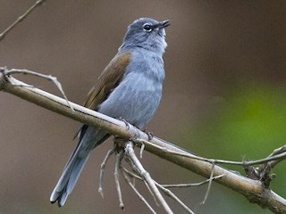 - Brown-backed Solitaire
