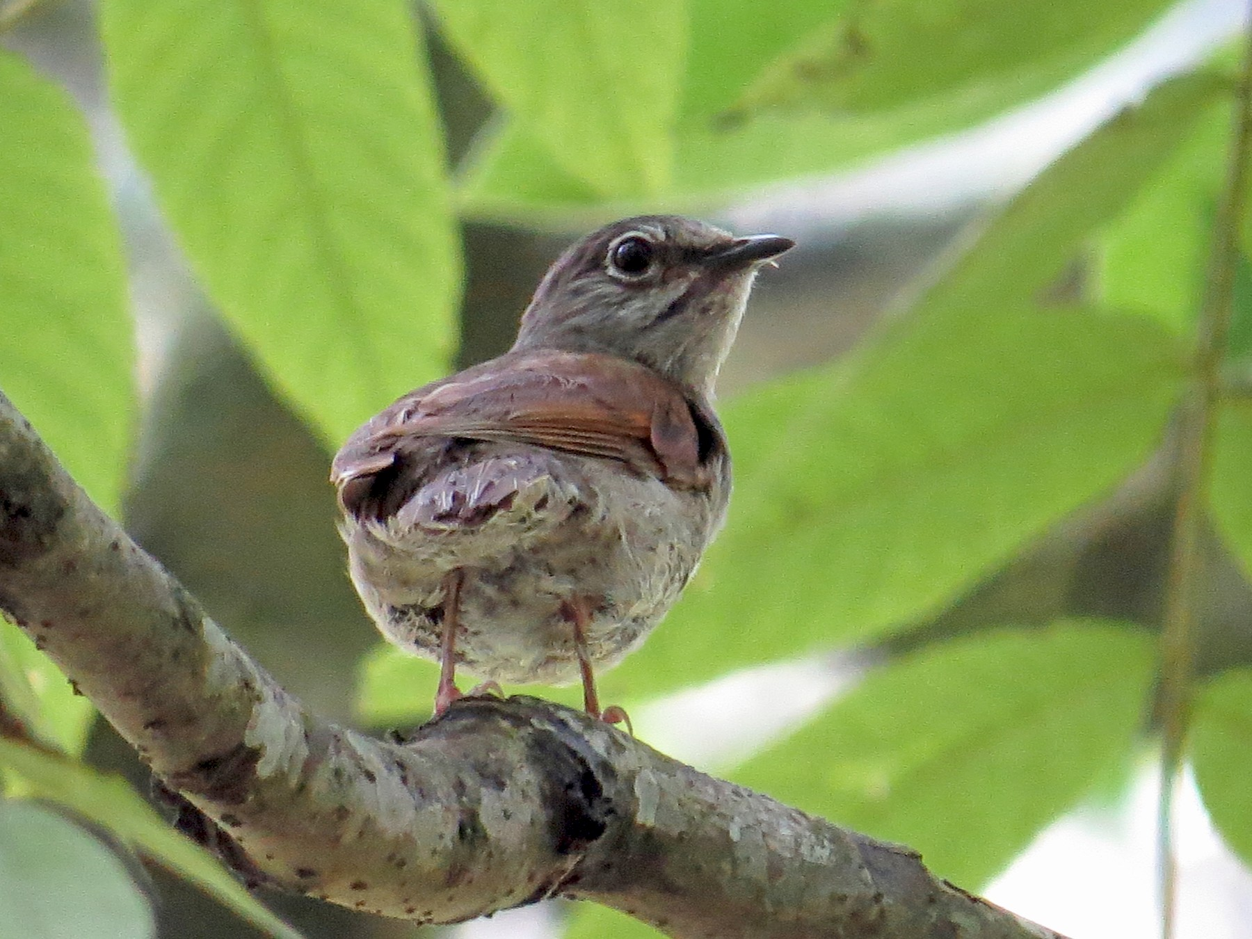 Brown-backed Solitaire - Oveth Fuentes