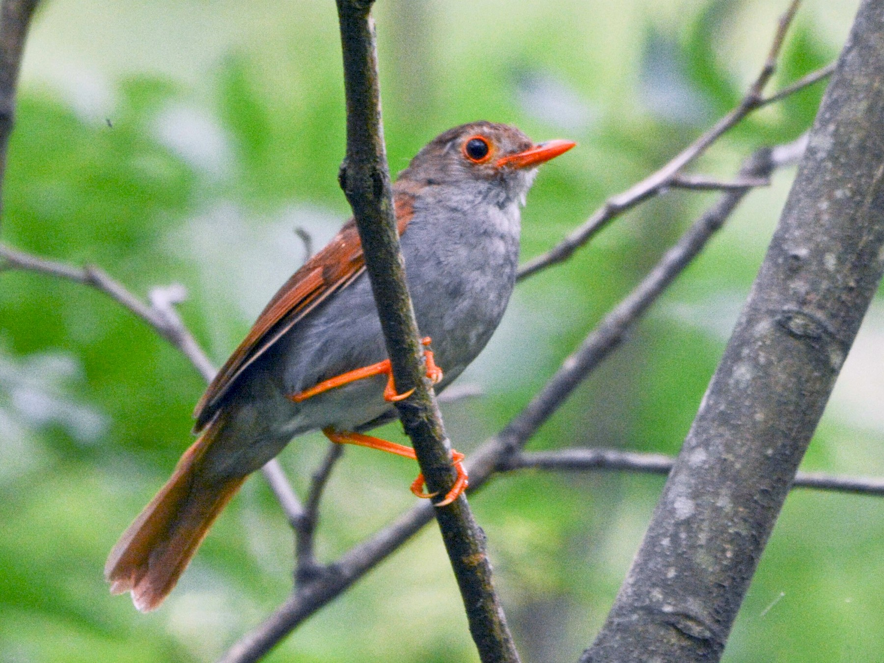 Orange-billed Nightingale-Thrush - Maria Jose Lou