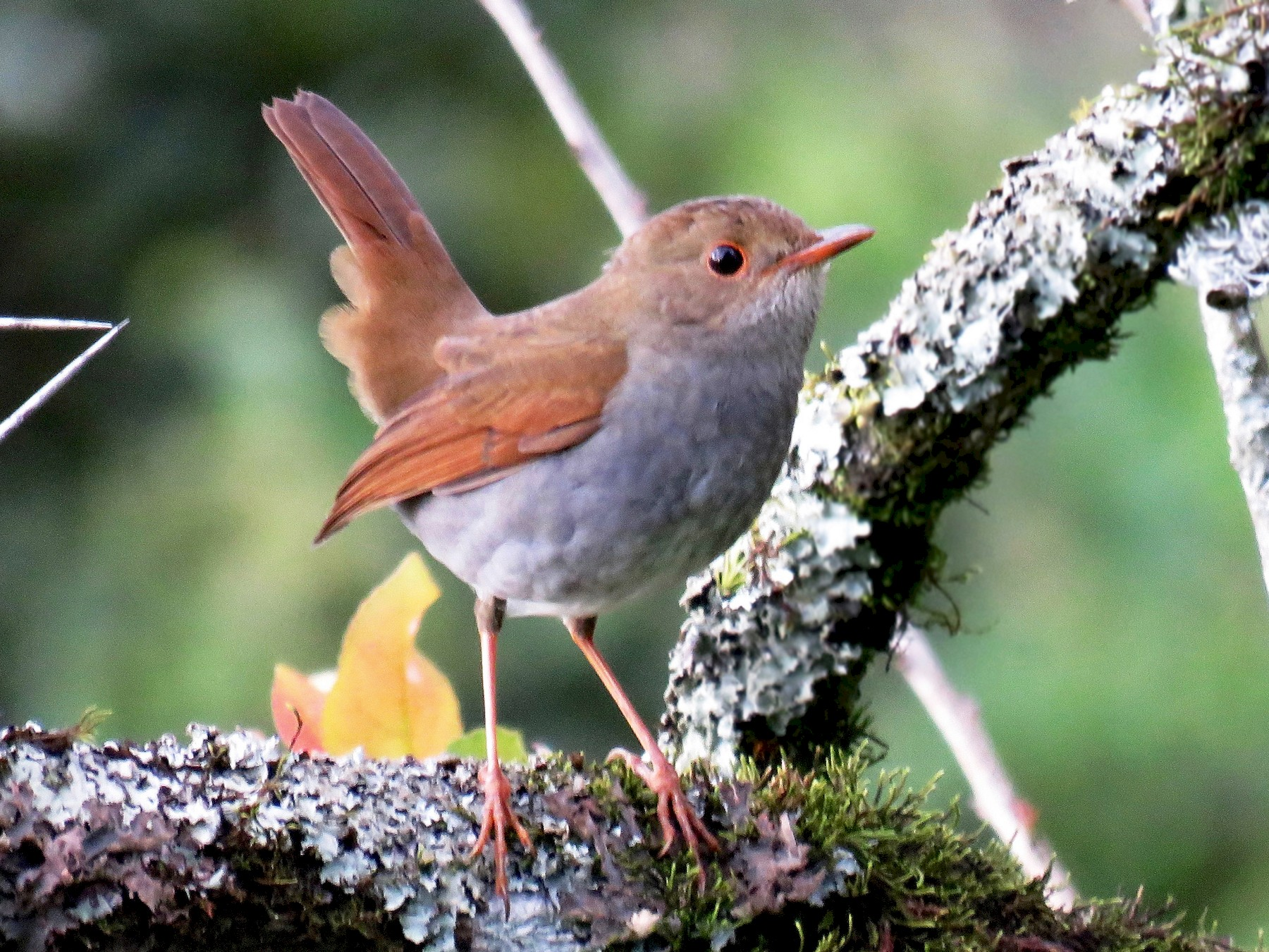 Orange-billed Nightingale-Thrush - John van Dort