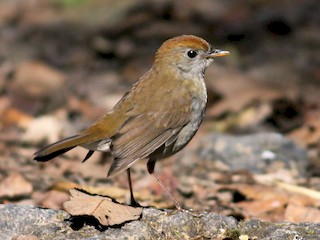 - Ruddy-capped Nightingale-Thrush
