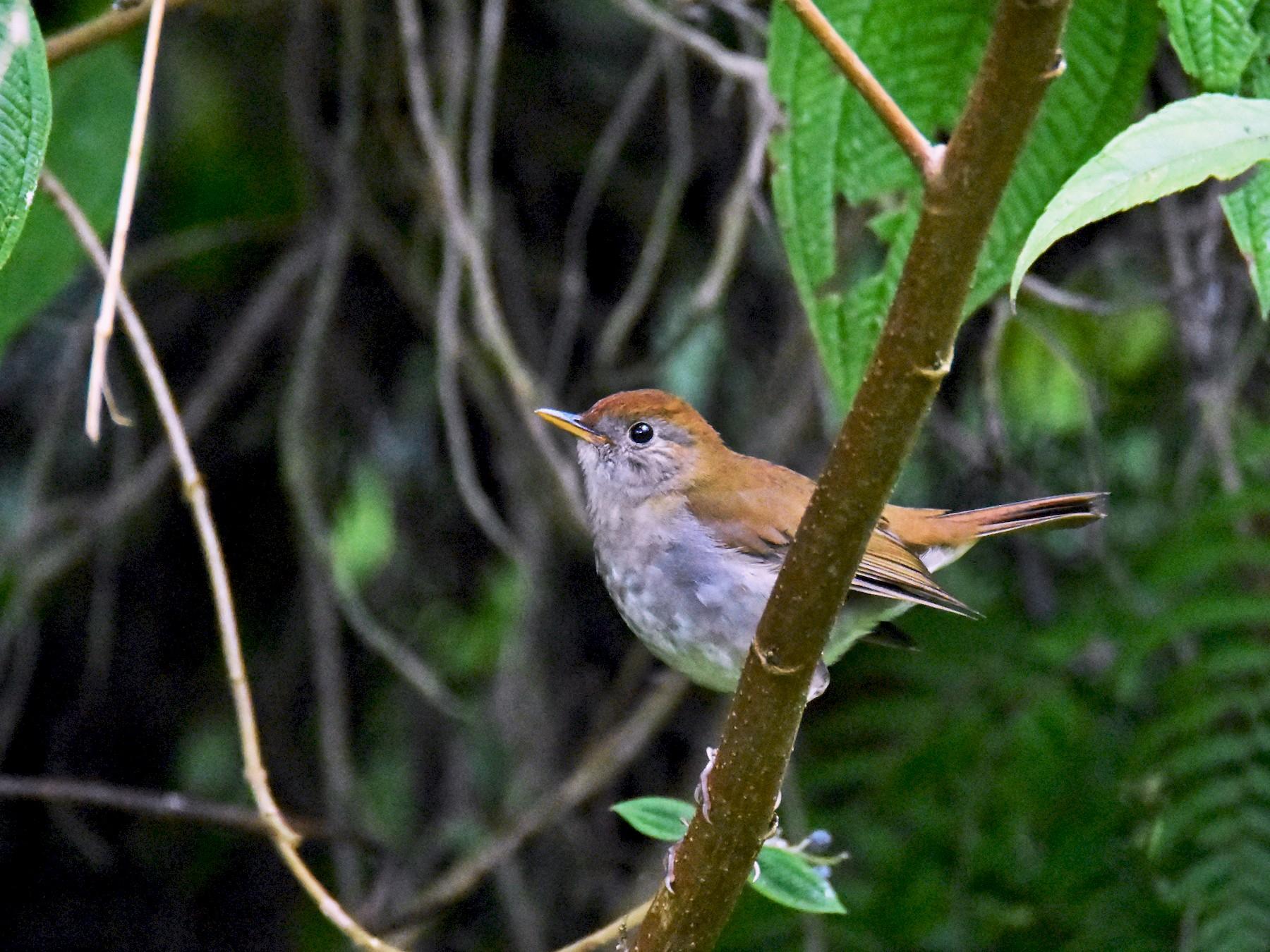 Ruddy-capped Nightingale-Thrush - Luke Berg