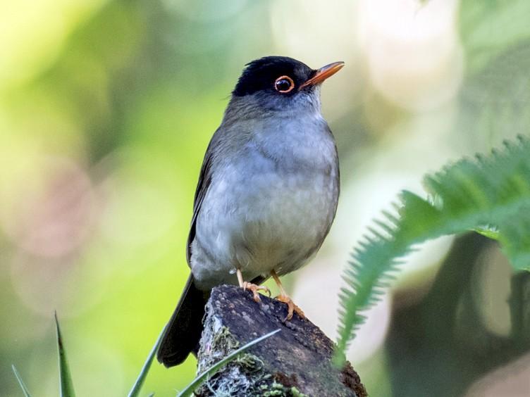 Black-headed Nightingale-Thrush - Robert Lewis