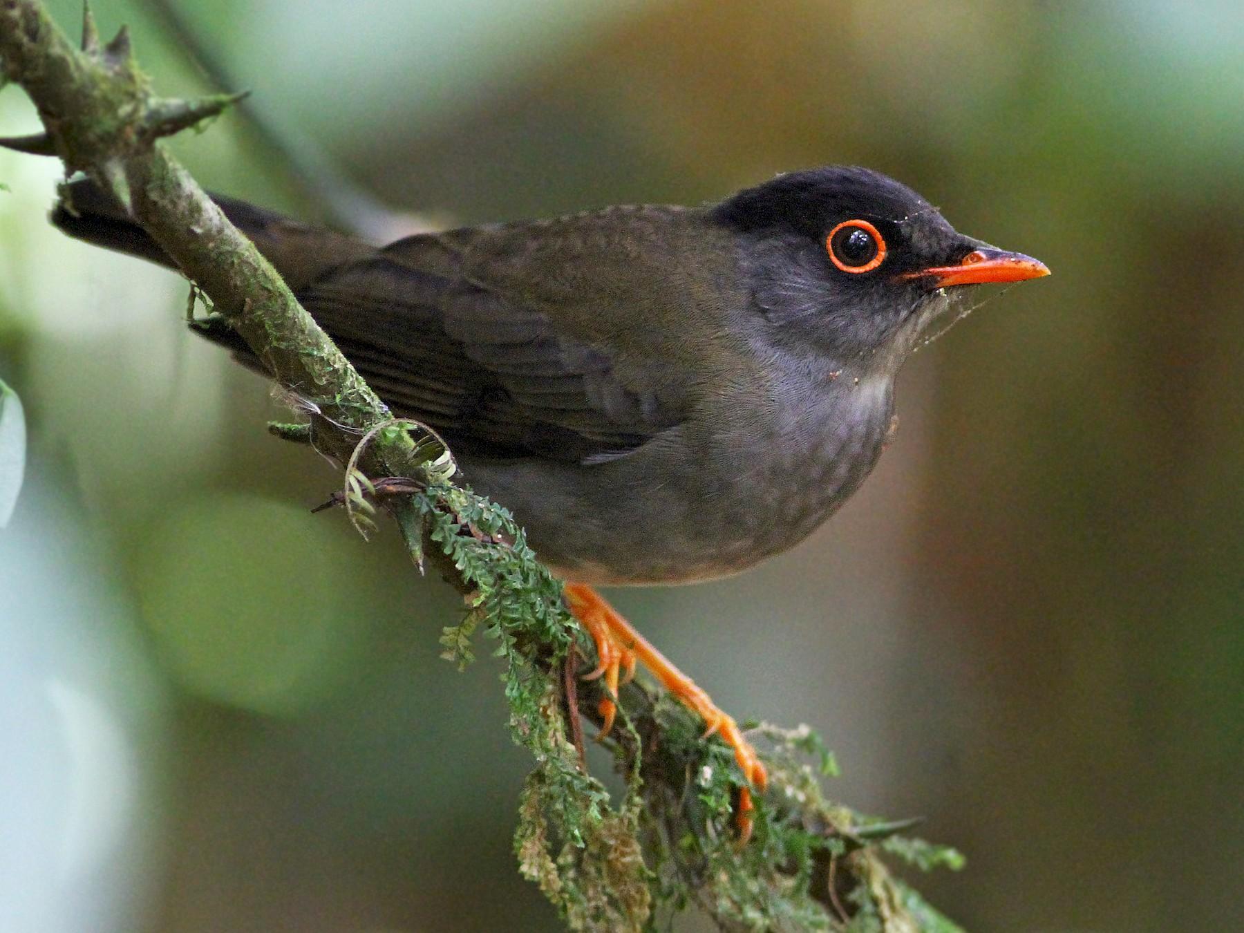 Black-headed Nightingale-Thrush - Andrew Spencer