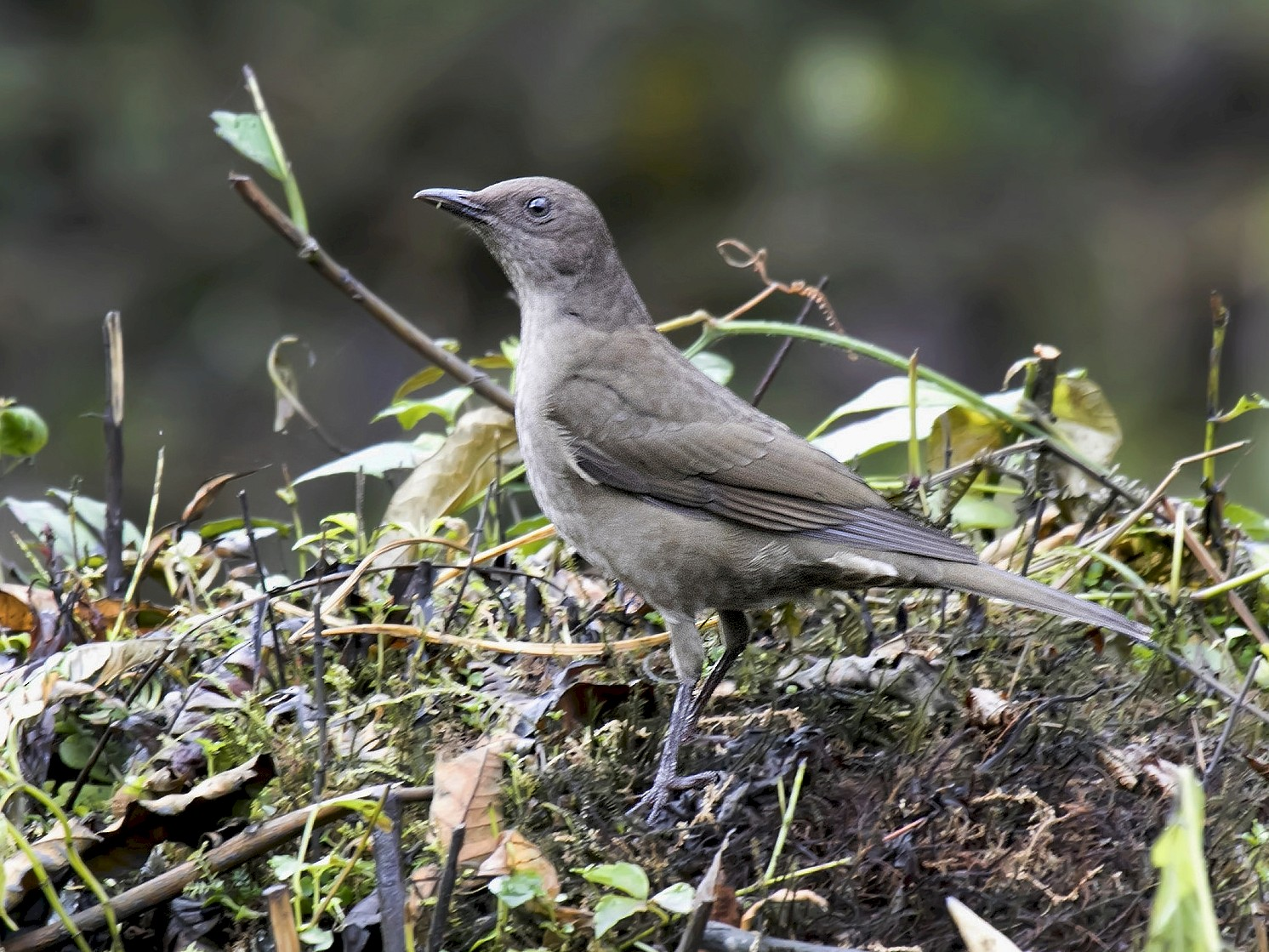 Mountain Thrush - Guillermo  Saborío Vega