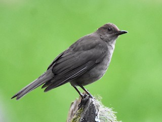 - Mountain Thrush