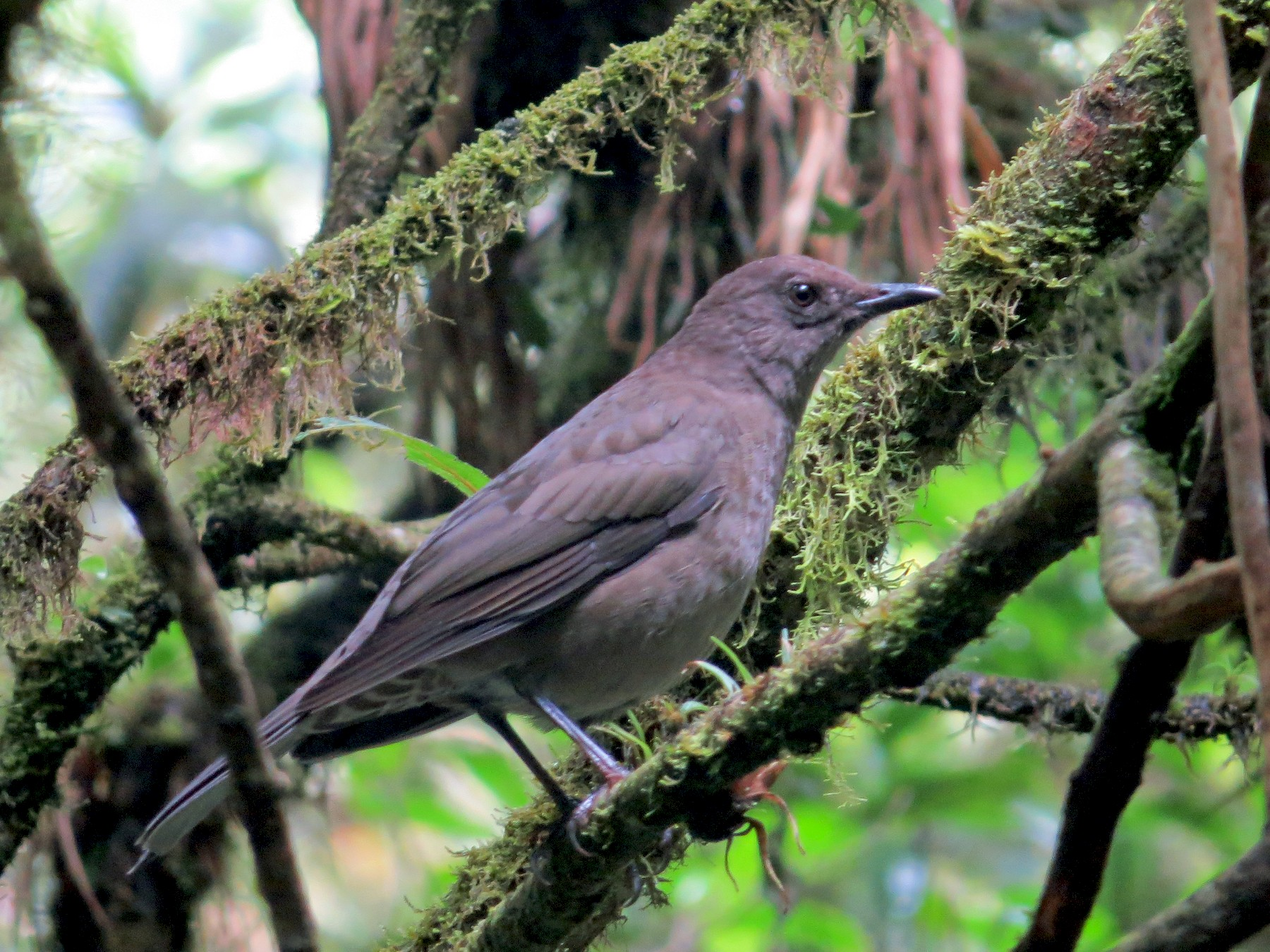 Mountain Thrush - kenneth reyes