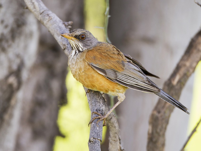 Rufous-backed Robin - Jeff Dyck