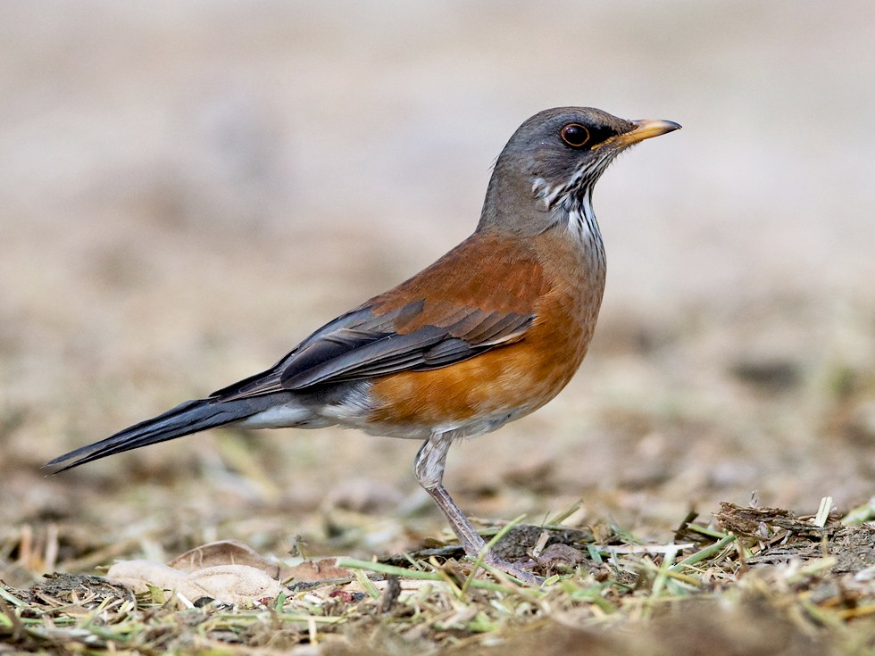 Rufous-backed Robin - Robert Dobbs