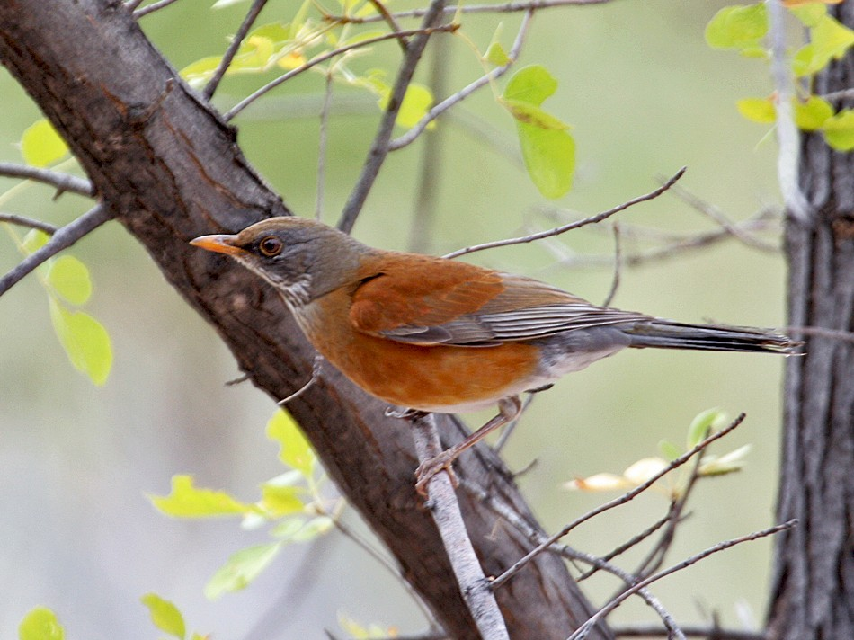 Rufous-backed Robin - Dick Dionne