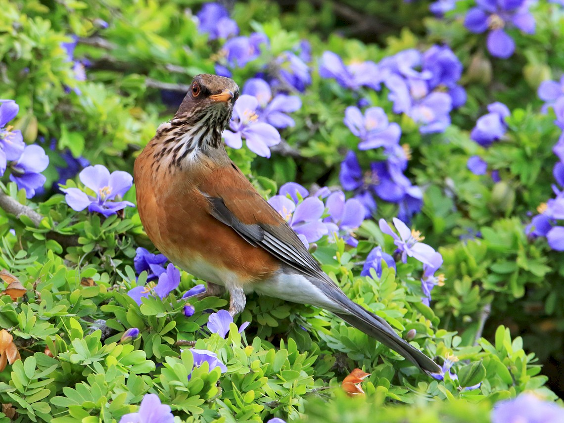 Rufous-backed Robin - Moe Bertrand