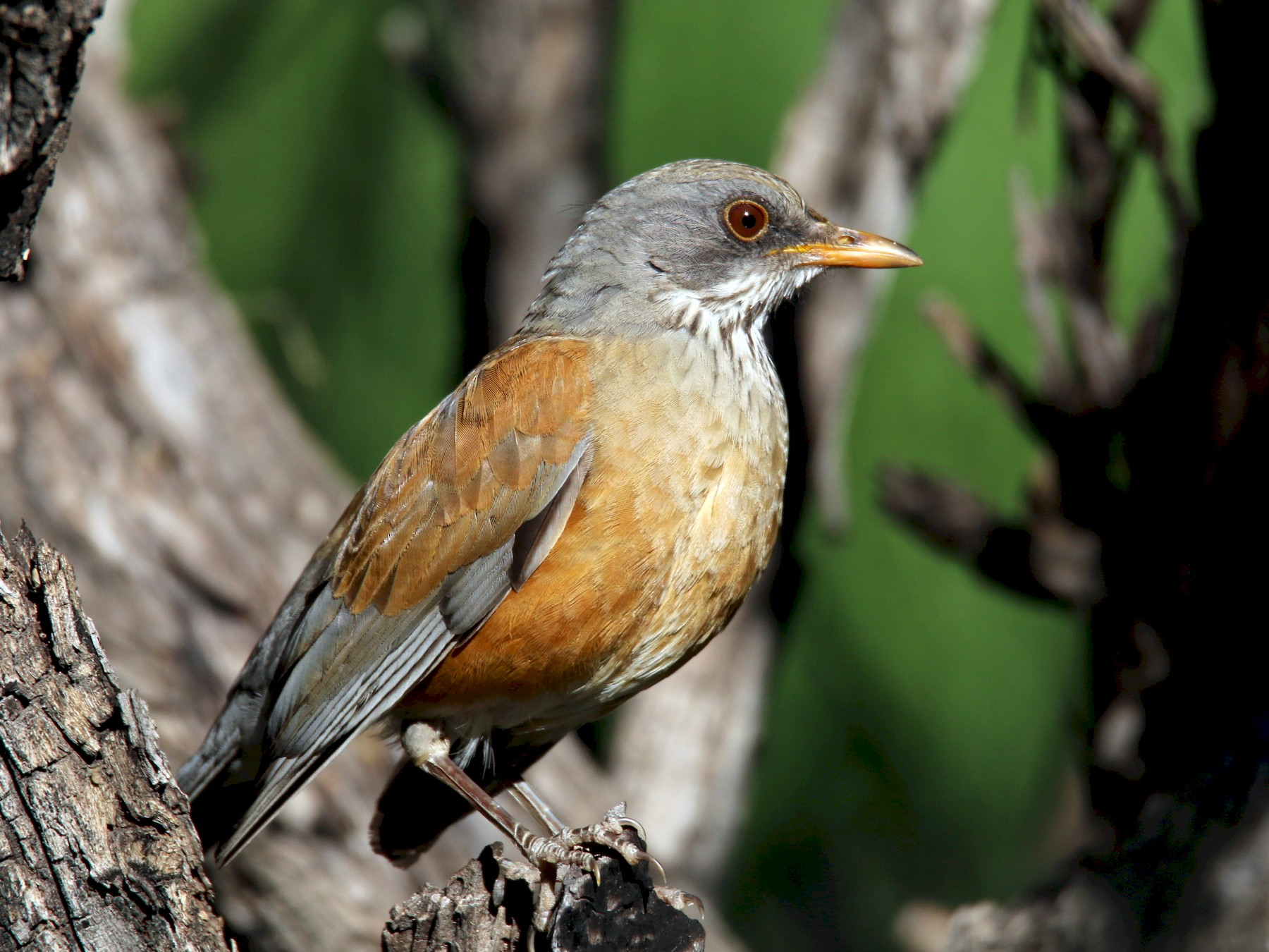 Rufous-backed Robin - Jeremy Dominguez