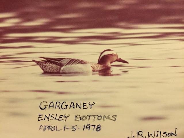 Garganey