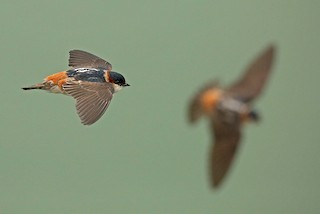 - Chestnut-collared Swallow