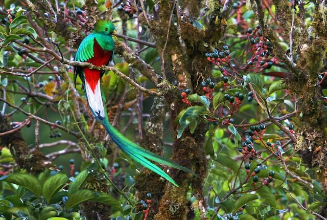 Resplendent Quetzal (Costa Rican)