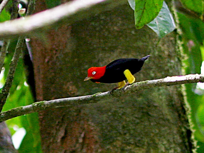 Red-capped Manakin - Bradley Hacker