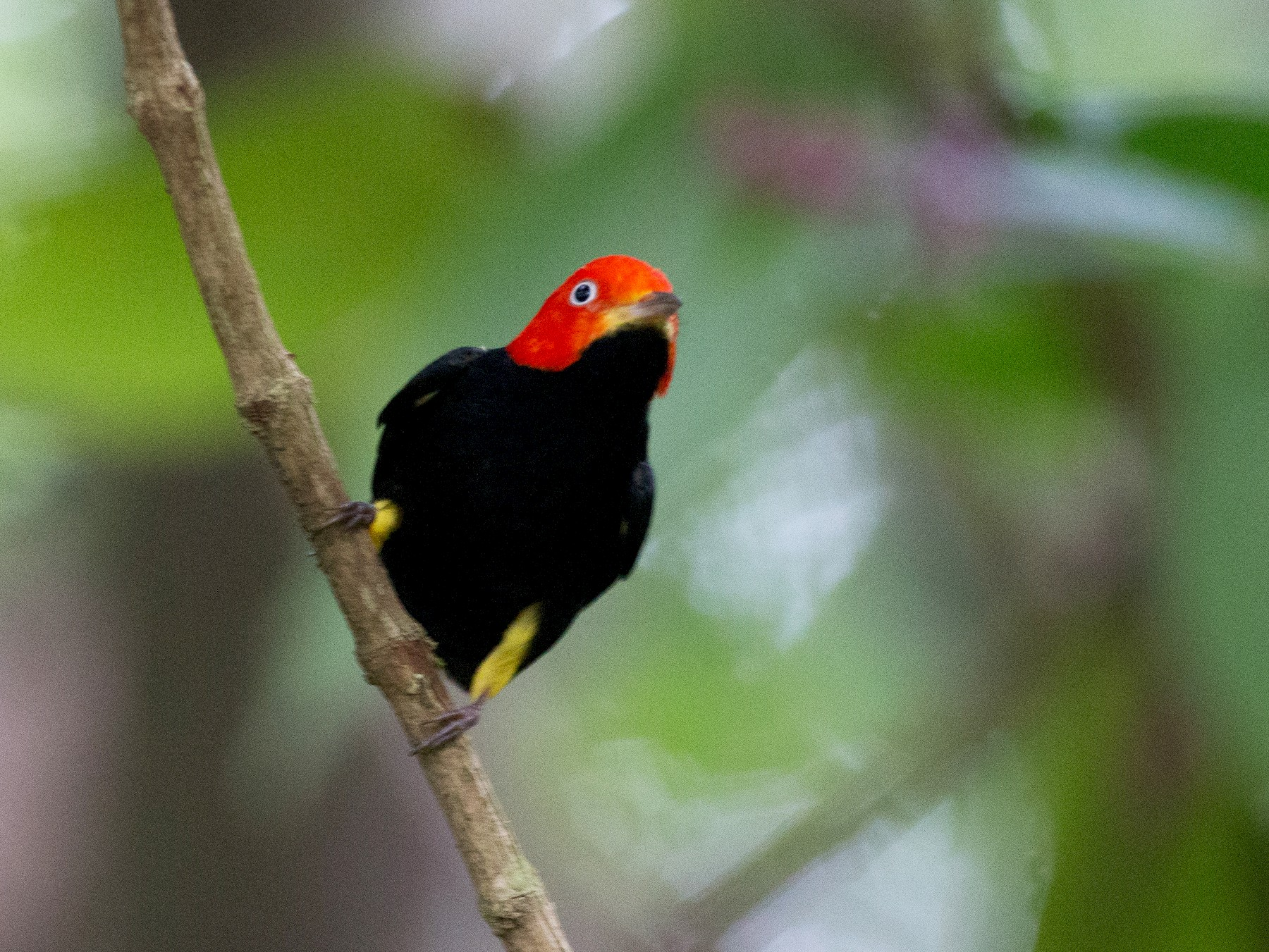 Red-capped Manakin - Chris Wood