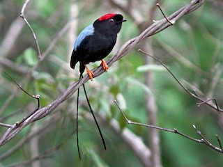 - Long-tailed Manakin