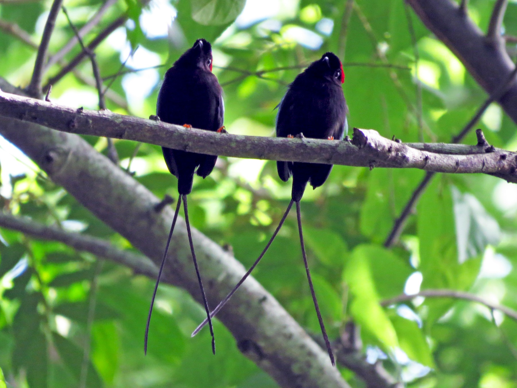 Long-tailed Manakin - John van Dort