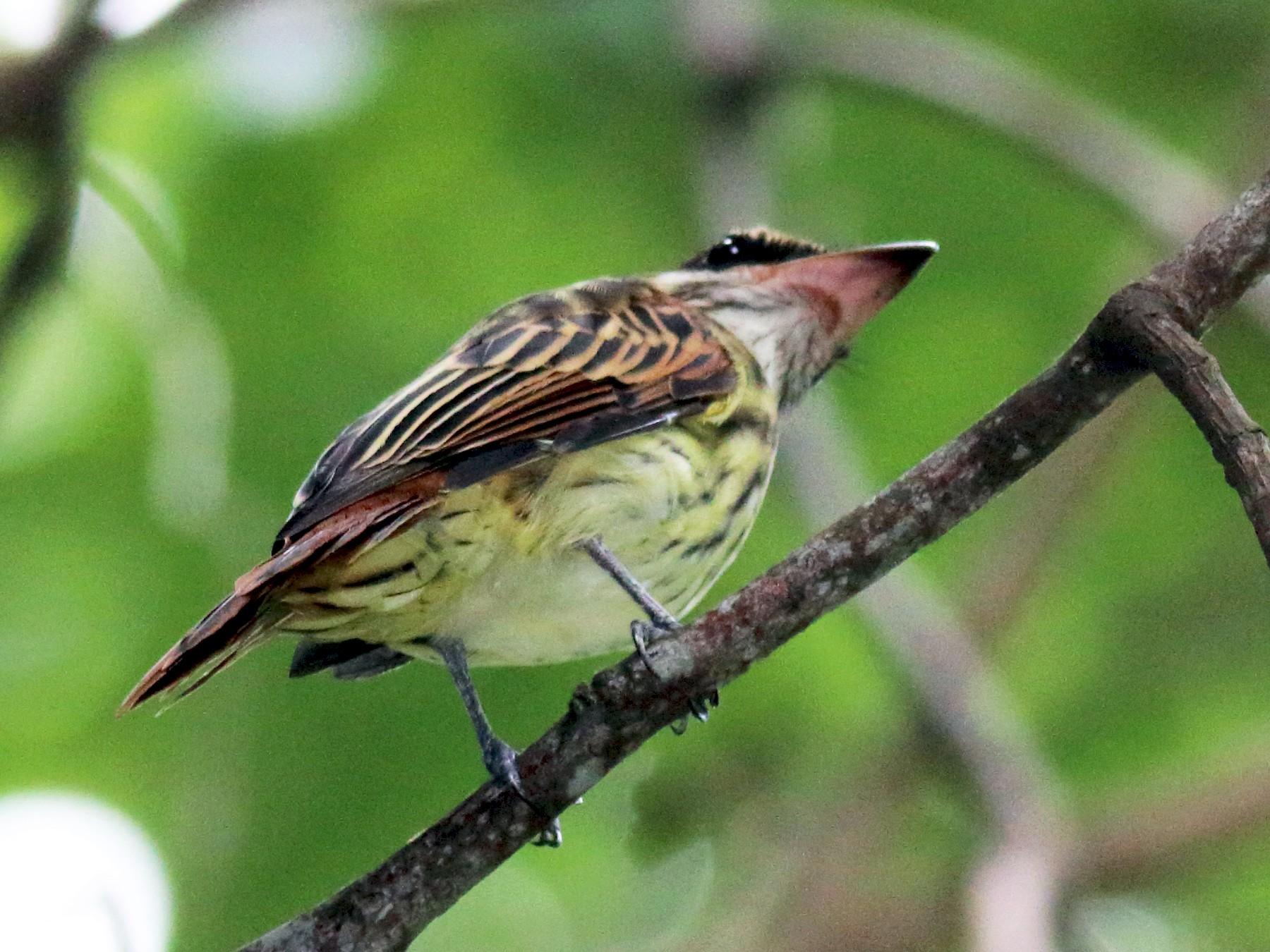 Streaked Flycatcher - Rick Folkening