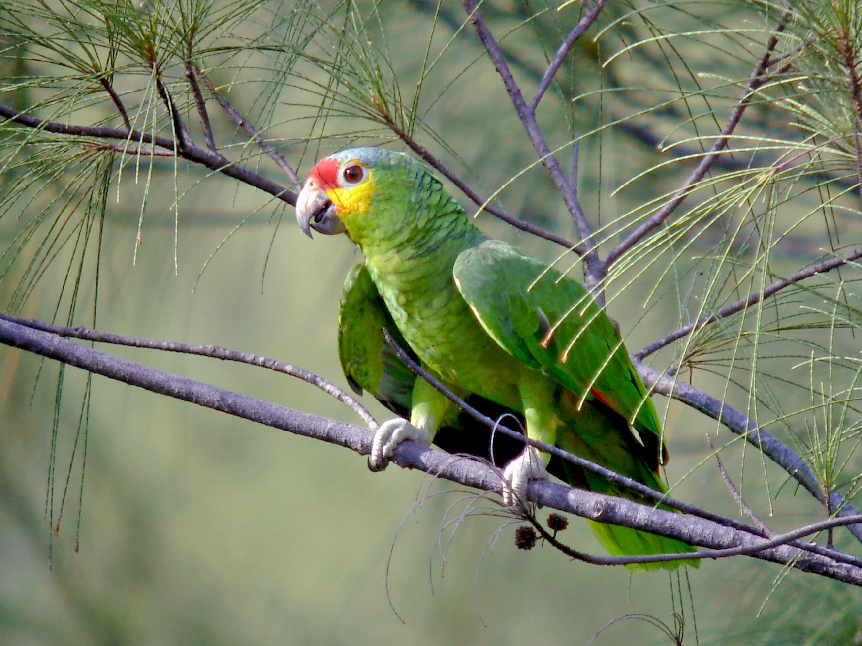Red-lored Parrot - Jay McGowan