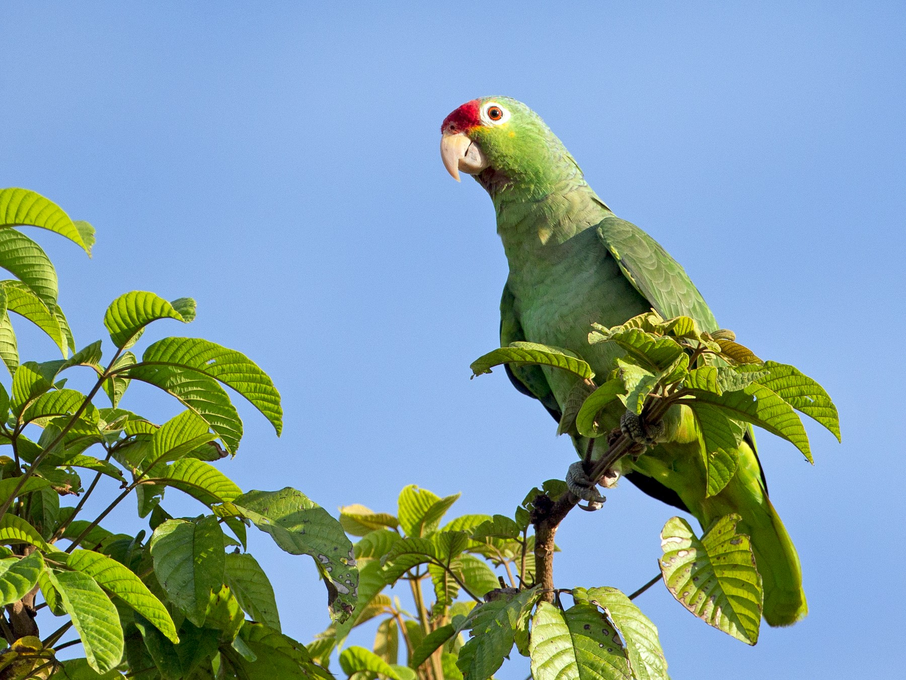 Red-lored Parrot - Chris Wood
