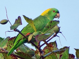 - Yellow-naped Parrot