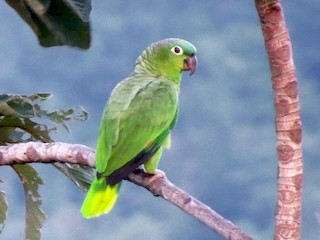 - Mealy Parrot