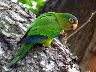 - Orange-fronted Parakeet