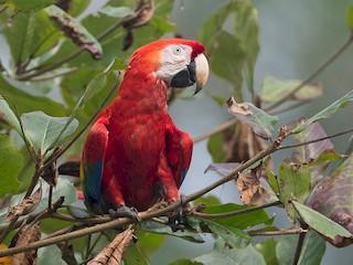 - Scarlet Macaw