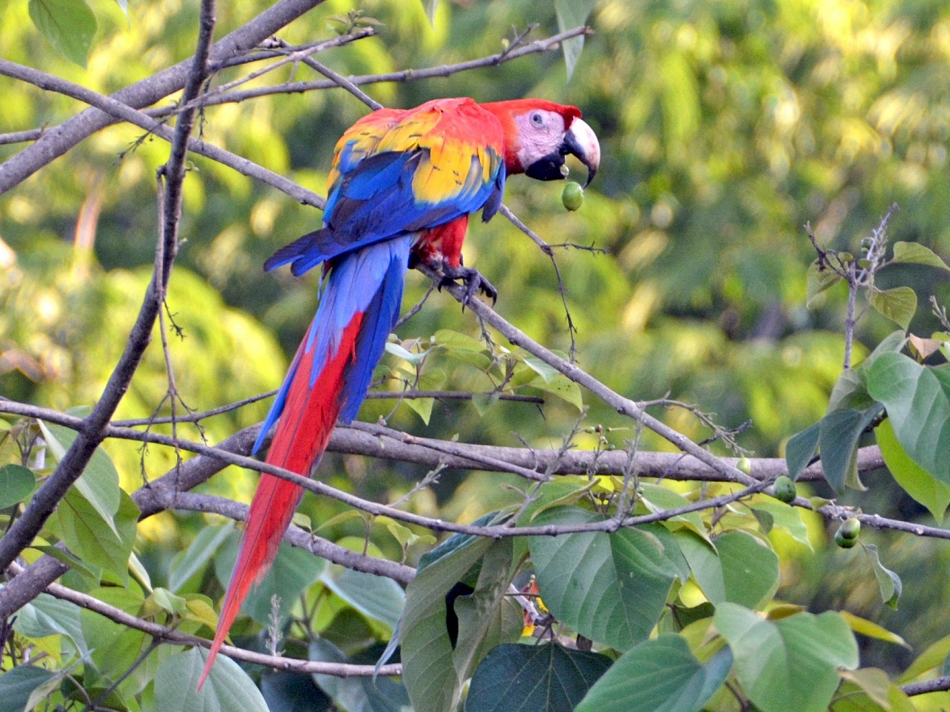 Scarlet Macaw - Cory