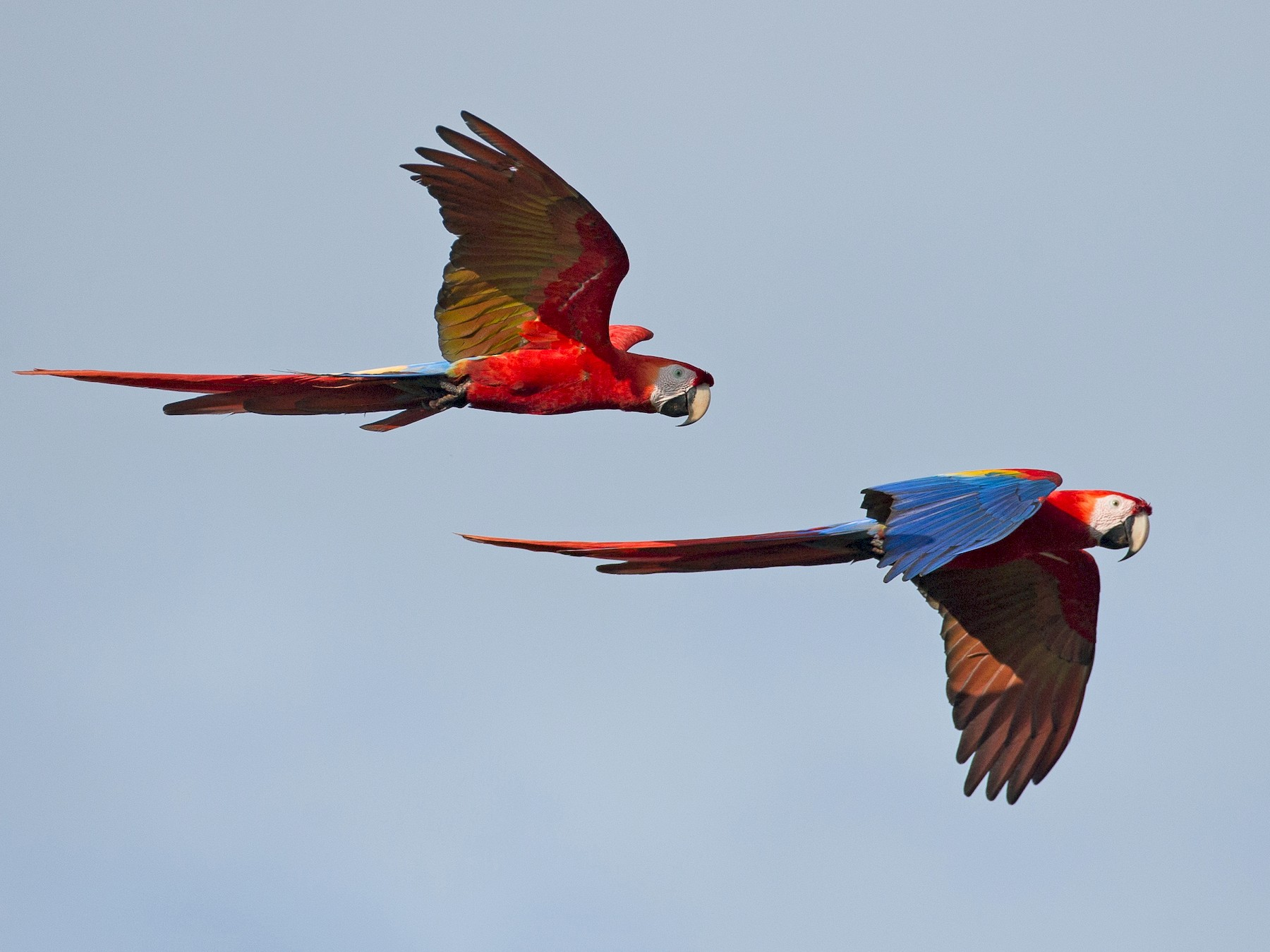 Scarlet Macaw - Chris Wood