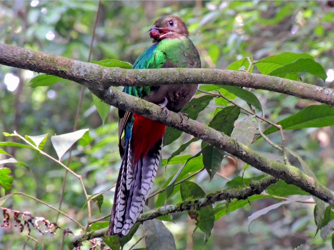 Resplendent Quetzal - Pablo Chumil Birding Guide +50249561649 Whatsapp