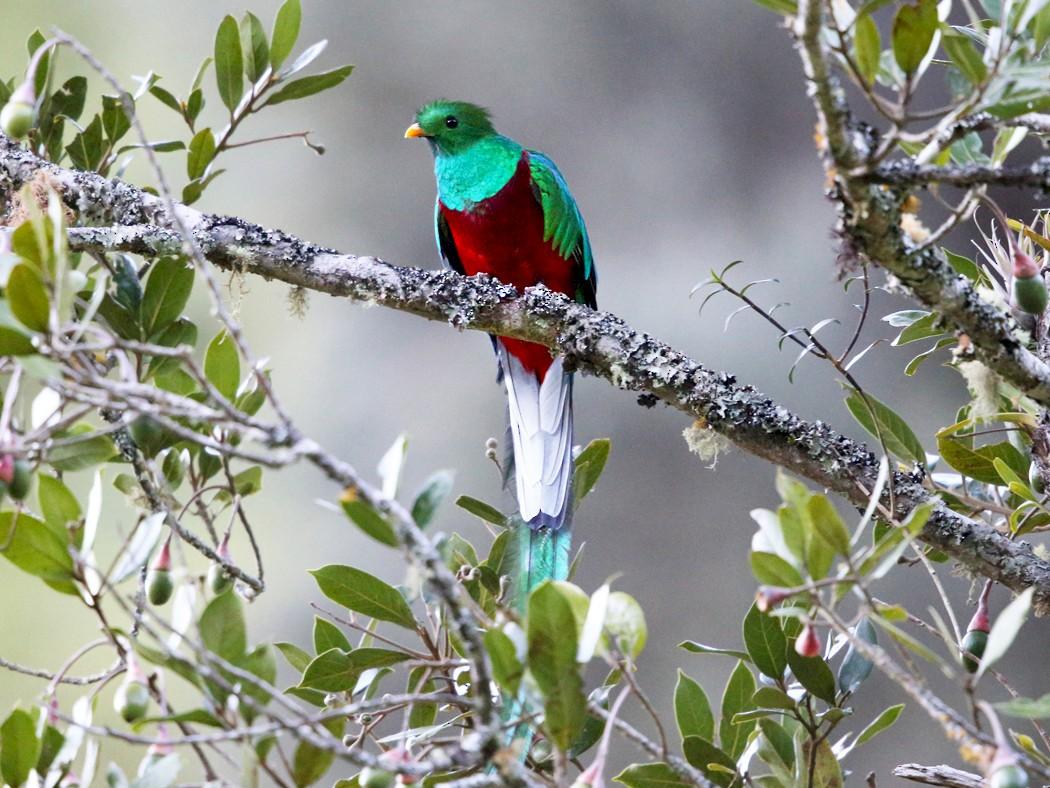 Resplendent Quetzal - Tom Murray