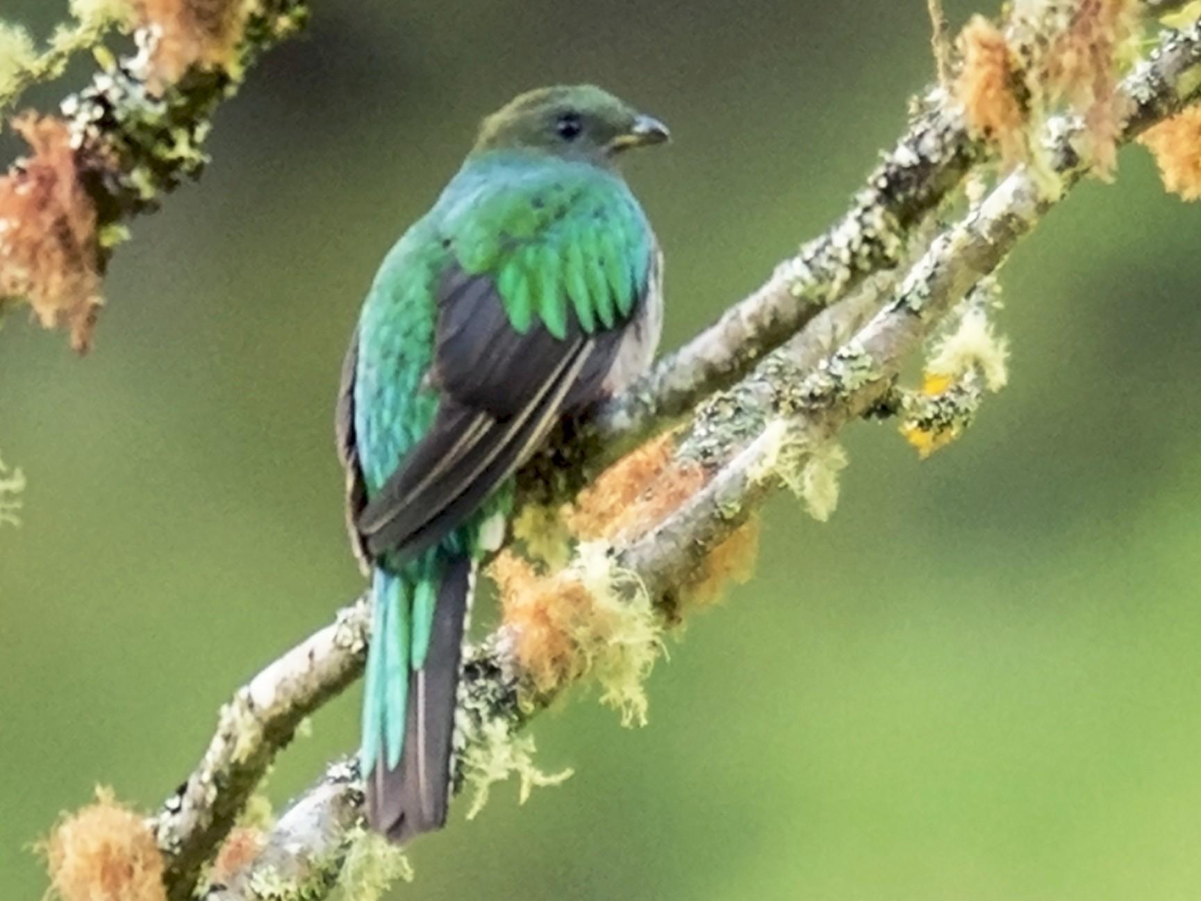 Resplendent Quetzal - Ken Langelier