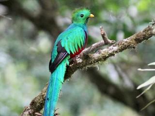 - Resplendent Quetzal