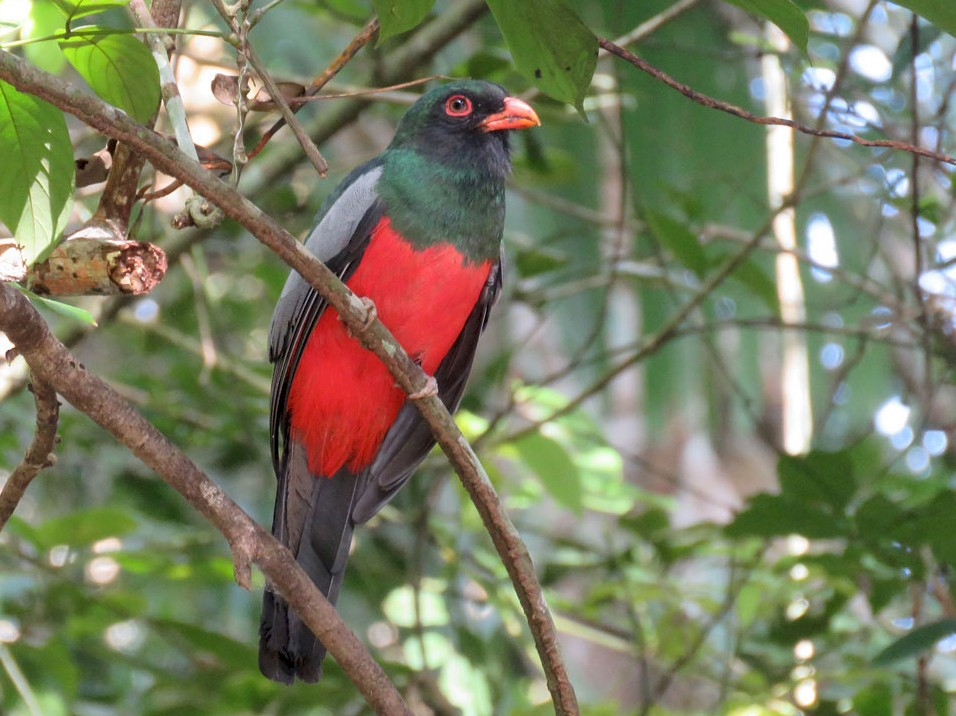 Slaty-tailed Trogon - Rosabel Miro
