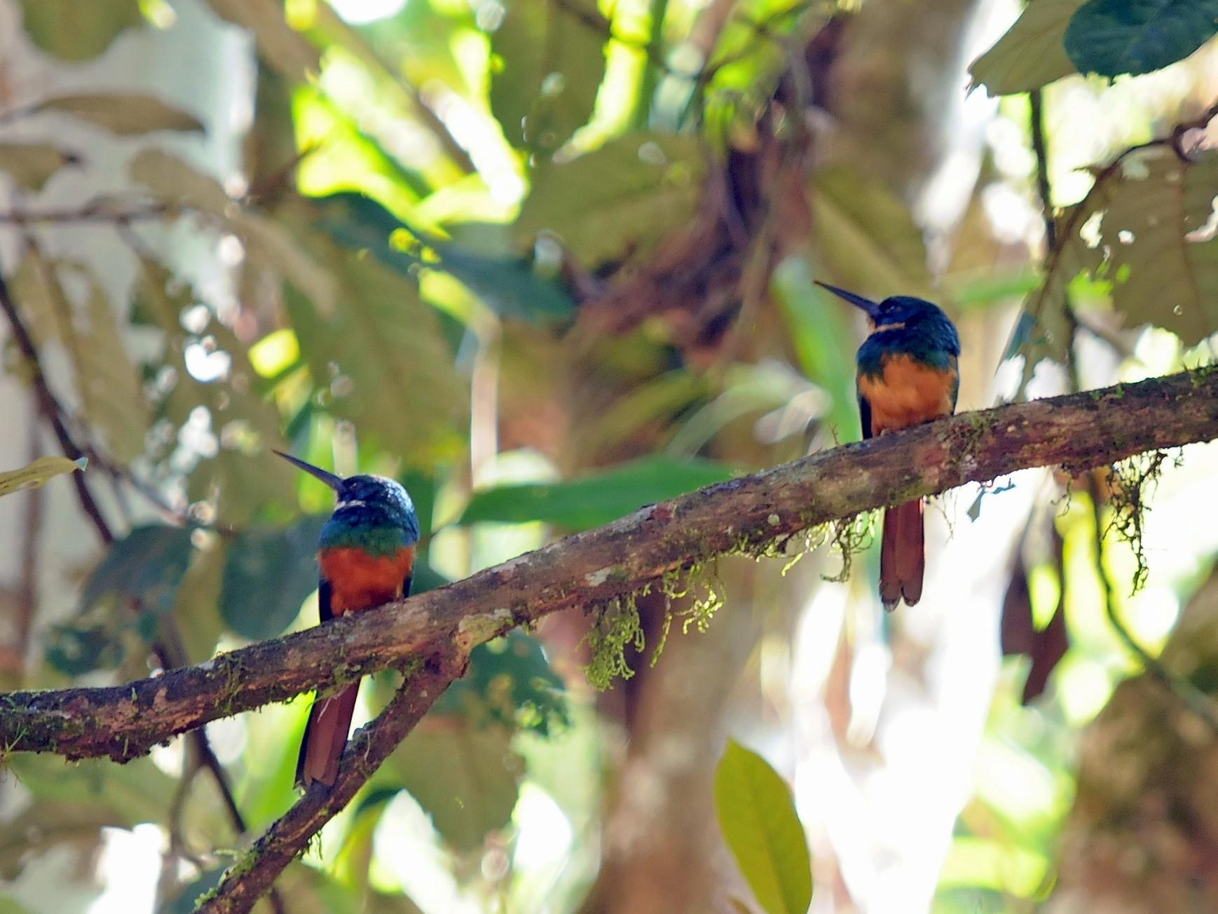 Rufous-tailed Jacamar - John Doty